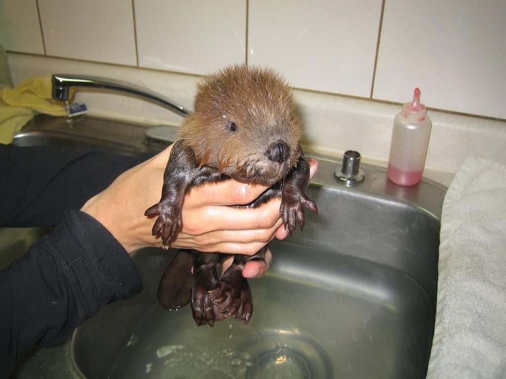 baby-beaver-bath